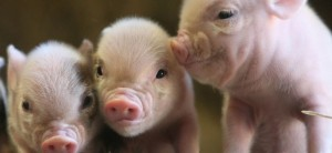 pigs-1728x800_c